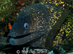 A large morer eel, sitting pretty on the wreck of HMS Mou... by Marcus Grant 